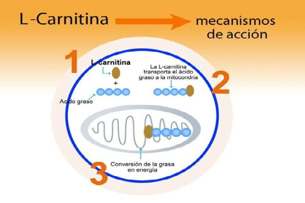 Que es la Carnitina